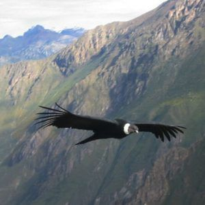 Flight of the Condor in Colca Canyon